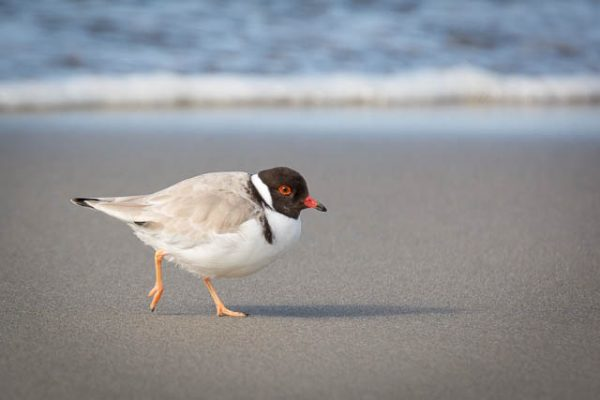Hooded Plover (shorebird), Tasmania