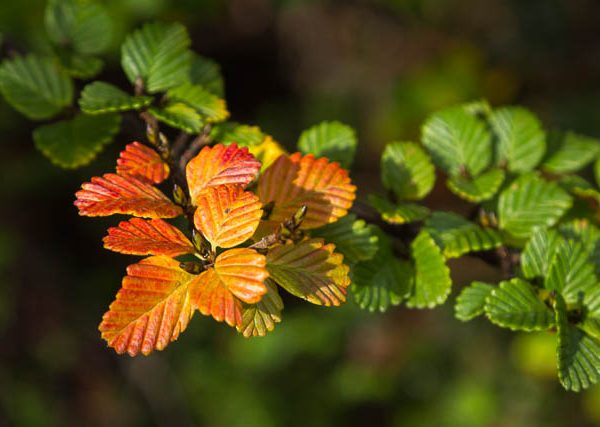 Autumn hues of the fagus - turning of the fagus - Tasmania