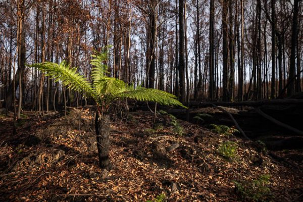 Regrowth of the forest after bushfires in the Huon Valley, Tasmania