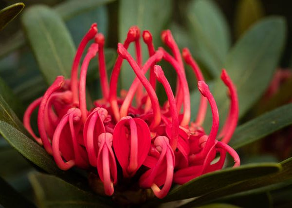 Single Tasmanian Waratah in bloom, Tasmania