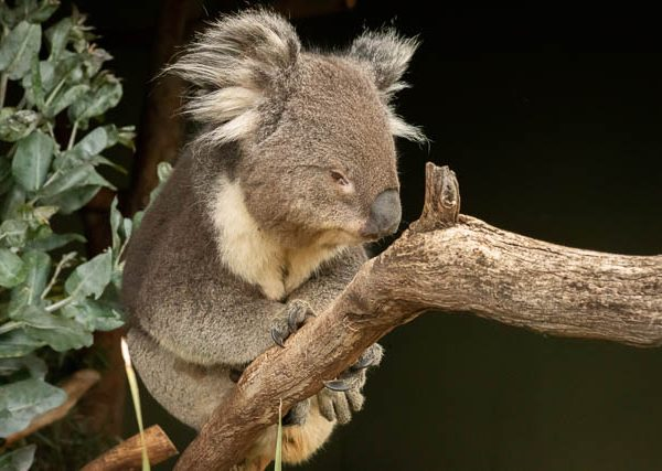 Koala at Bonorong Wildlife Sanctuary, Hobart, Tasmania