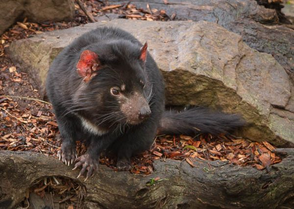 Tasmanian Devil at Bonorong Wildlife Sanctuary - Hobart, Tasmania