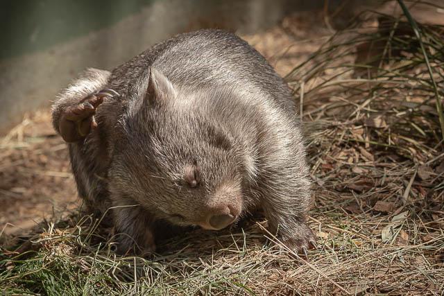 Wombat scratching - Bonorong Wildlife Sanctuary, Hobart, Tasmania