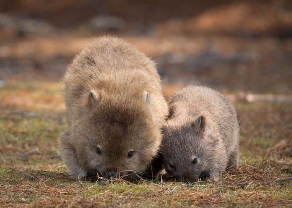Mum and baby wombat - Maria Island, Tasmania