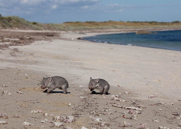 Wombats running around on beach - Flinders Island, Tasmania