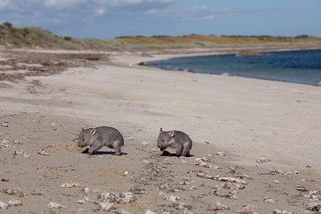 Wombats running around on beach - Flinders Island, Tasmania