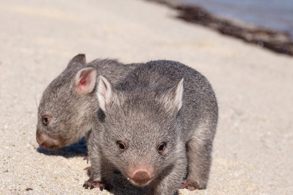 Wombats on Beach Flinders Island