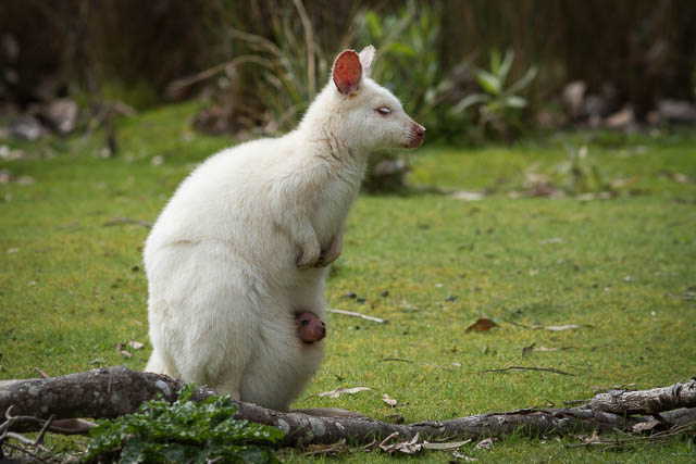 rare and endemic white wallaby with joey in pouch