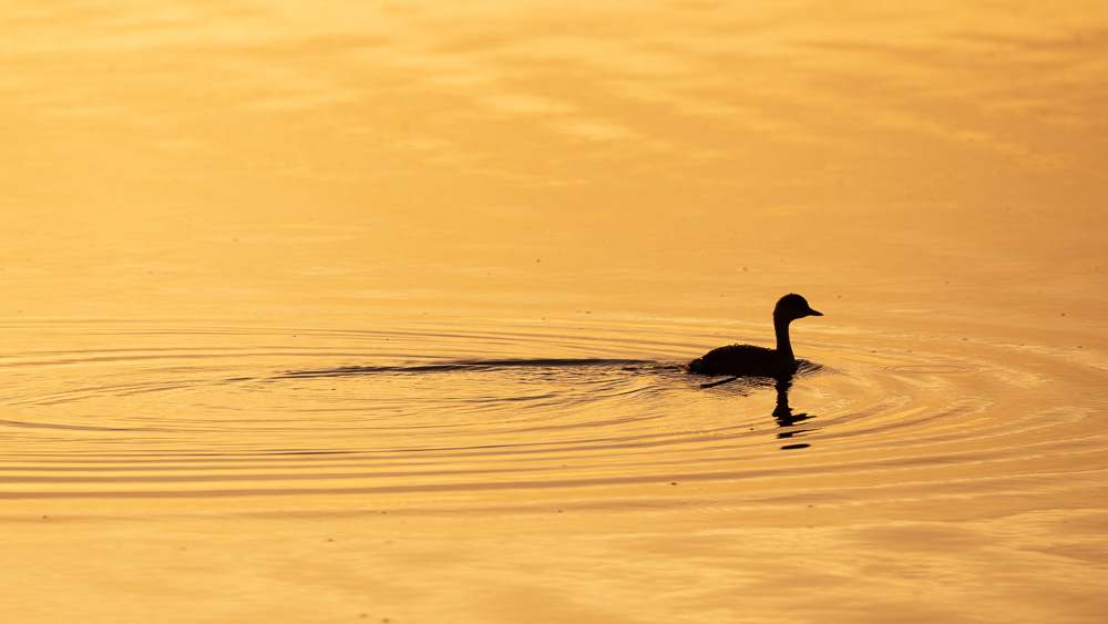 Silhouette of a Australasian Grebe paddling in the morning light