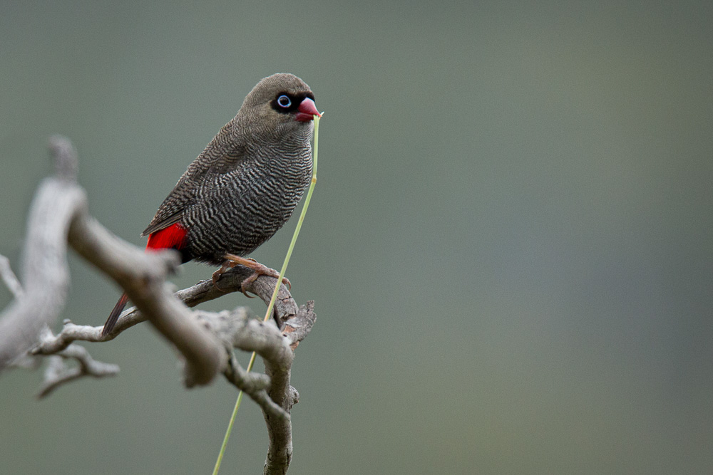 Beautiful Firetail sitting on branch with nesting material in beak