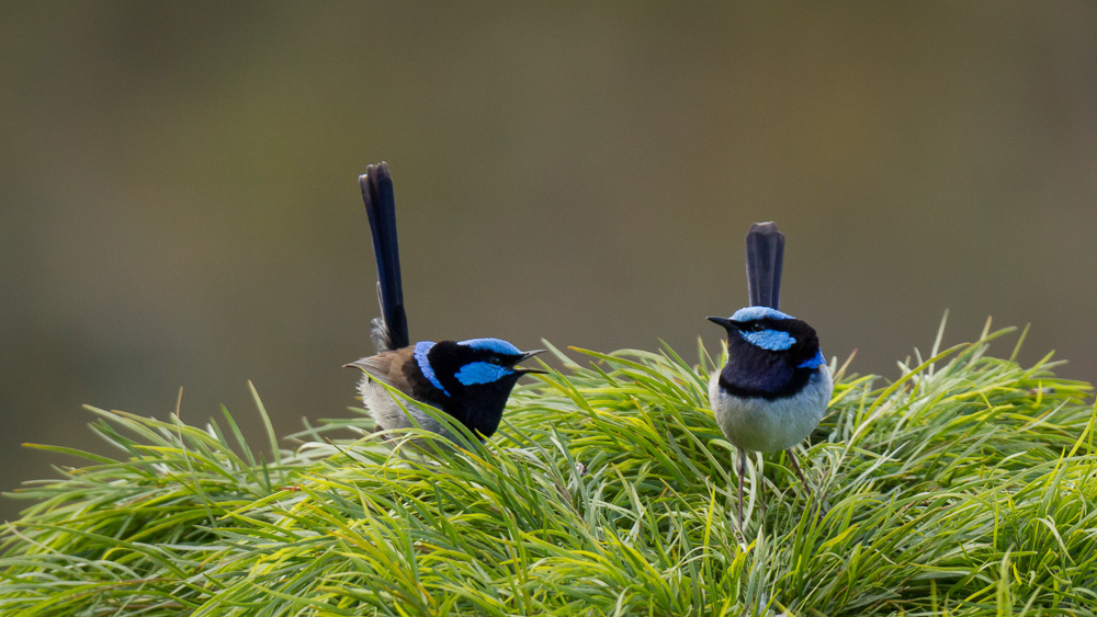 A pair of male Fairy-wrens sitting atop a tree interacting - maybe a dispute about territory?
