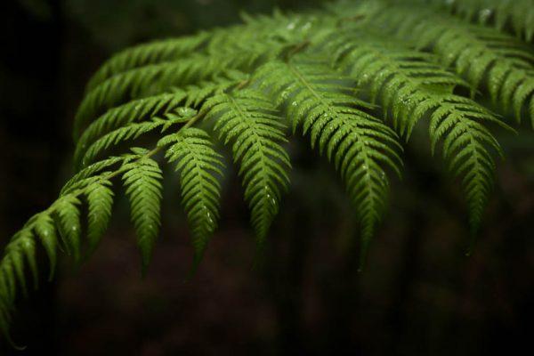 fern frond in Tasmanian rainforest