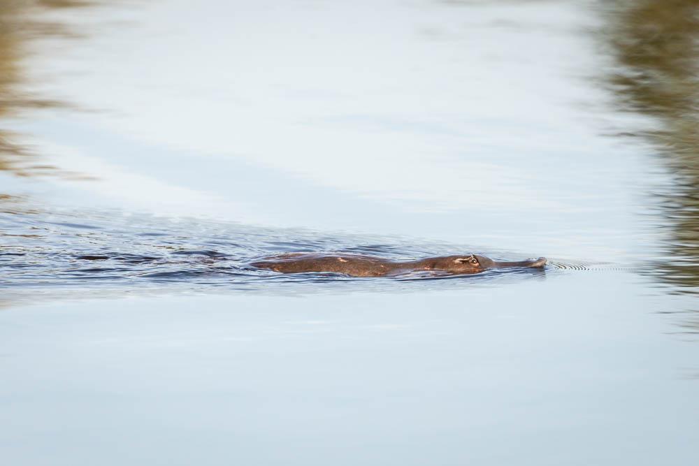 Platypus in Rathmore dam