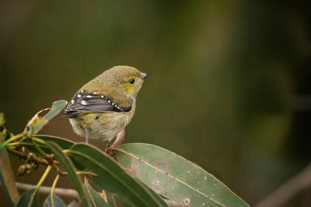 Rare and endangered Forty-spotted Pardalote, Tasmania