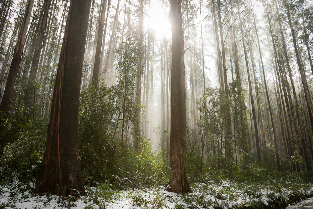 Forest in snow - High country, Victoria, Australia