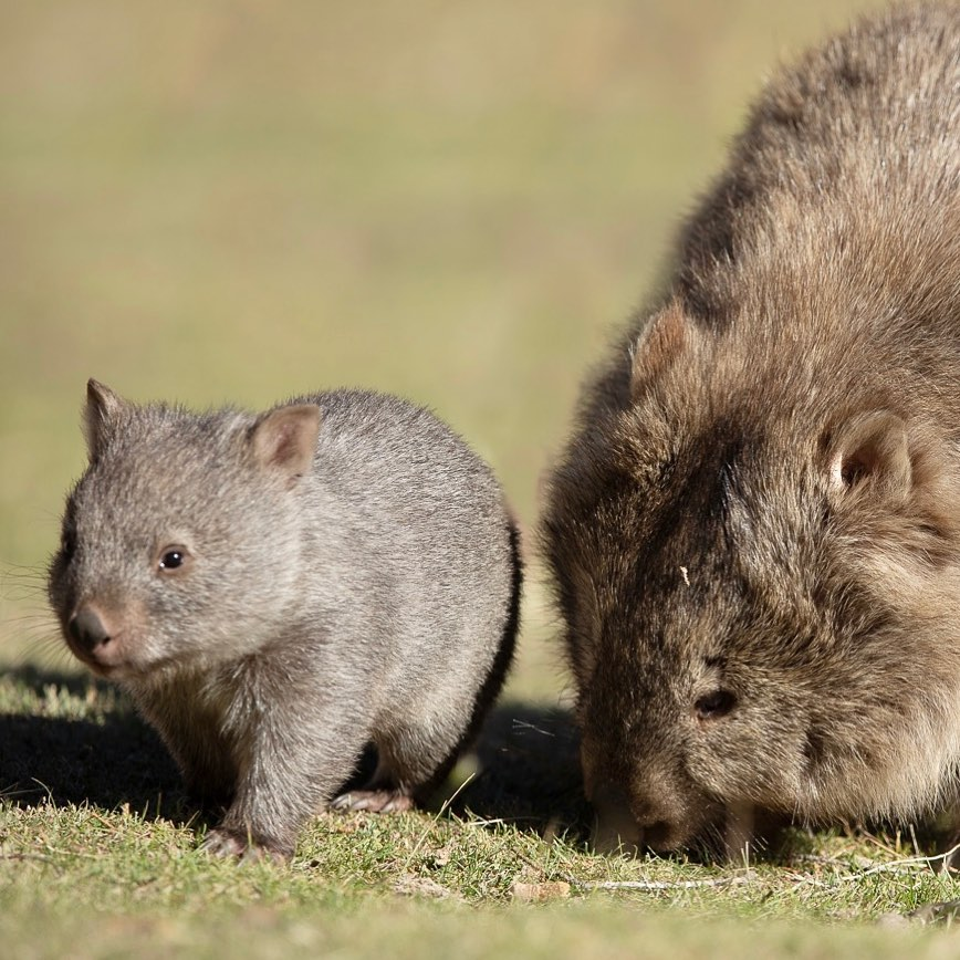 So looking at photos of wildlife improves your state of happiness right?!  Well, being there in the moment and spending time observing wombats in their natural habitat and taking the photo yourself, enhances that feeling and experience even more ...