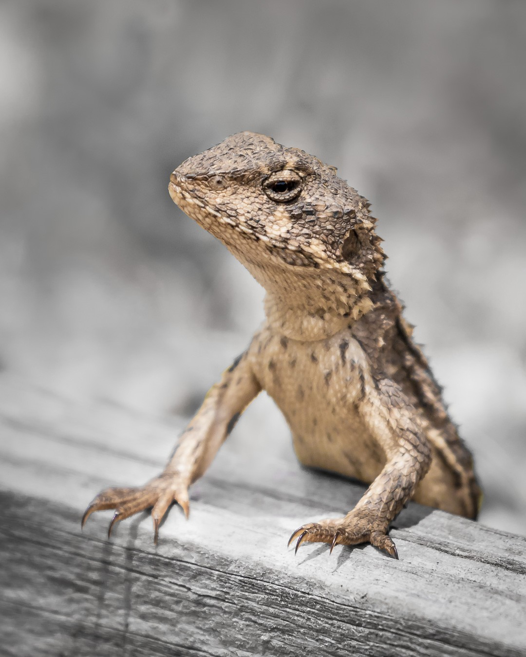 Having not ever seen a Mountain Dragon in our yard at home ever before, we were quite surprised by this sighting.  Lizards have a tendency to run off into the vegetation the moment we come across them. And more often