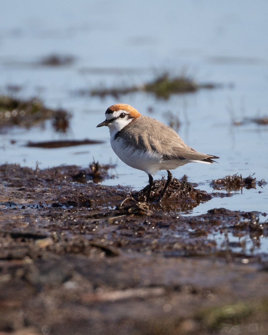 A few years ago I (Coreena) was hiking with Roy on Bruny Island and during that walk I was excited to record a 'lifer'... that is my (personal) first ever sighting of a Red-capped Plover. What an adorable little bird!