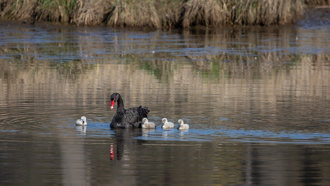 Aww, cute!!! Spring has sprung in the southern hemisphere so we'll be looking forward to seeing more images just like this one in the near future. Makes you feel all warm and fuzzy inside doesn't it?!  . . . . 🦢 Black Swan and